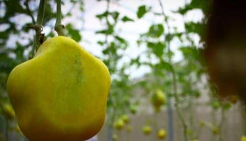 Melon Cinta Dengan Bentuk Unik Dari Bogor