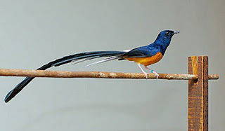 Mengenali Ciri-Ciri Burung Murai Batu Medan