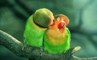Tips Sukses Budidaya Ternak Burung Lovebird